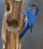 _MG_4573 Male Bluebird