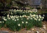 P3192692 Daffodils
