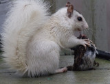 _MG_4762 White Squirrel Eating Dead Bird