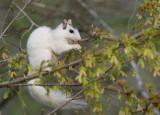 _MG_4866 White Squirrel Enjoying Tree Seed Pod