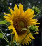 P6224149 Sunflower Center