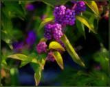 PA055158 Beautyberry