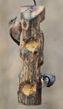_MG_7194 Female Bluebird Nuthatch
