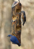 _MG_7182 Mr and Mrs Bluebird