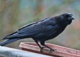 _MG_7287 Wary Crow