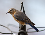 _MG_7364 Bluebird Waiting her turn
