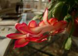 P1020548 Rokinon Fisheye Schlumbergera Blossom