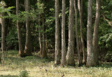 P1040408  Tupelo Trees at the  Audubon Swamp at Magnolia Plantation