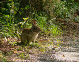 P1040435 Marsh Rabbit