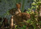 P1040440 Marsh Rabbit