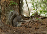 P1040470 Squirrel at Swamp