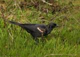 P1040500 Red Winged Blackbird