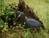 P1040590 Very cooperative little blue heron