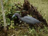 P1040591 Little Blue Heron