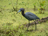 P1040595 Little Blue Heron
