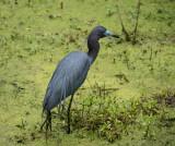 P1040600 Little Blue Heron