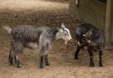 P1040227 Goats at Magnolia Plantation Petting Zoo