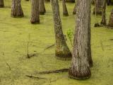 P1040245 tTupelo Trees growing in the Audubon Swamp Garden at Magnolia Plantation