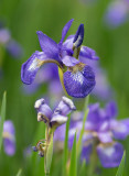 P1040946 Siberian Iris