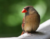 _MG_8623 Sweet Mrs. Cardinal