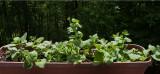 _MG_7050 Wave Petunia and Geranium Seedlings