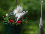 P5226149 Reaching White Squirrel 135.jpg