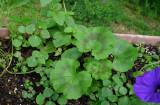 P1100900 Impatiens Seedlings