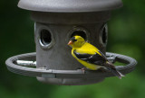 P1060117 Male American Goldfinch