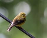_MG_01801 American Goldfinch