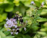 _MG_0283 Bee on Golden Oregano
