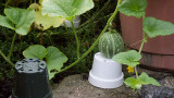 P1060575 Watching my Tigger melon grow