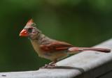 _MG_0457 Mrs Cardinal