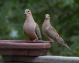 _MG_0593 Mourning Dove Pair