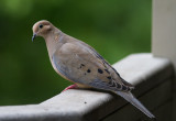 _MG_0600 Curious Mourning Dove