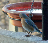P1000452 Female Bluebird-Max Zoom