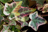 P1000617 Winter Ivy Color