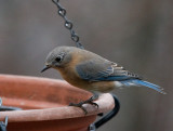 _MG_0447 Female Bluebird