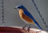 _MG_0488 Male Bluebird