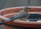 _MG_0251 Mrs Bluebird Spies Me