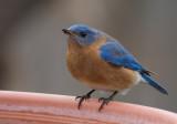 _MG_0364 Male Bluebird Swallowing