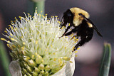 Bumble on Onion Flower