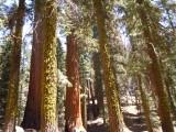 11 Sequoia forest 09.JPG
