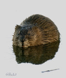 Reflection of a Muskrat