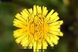 Flower Reflected