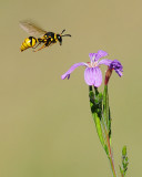 Wasp about to land on Phlox