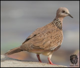 Dove, Spotted