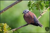 Dove, Red-Turtle (Streptopelia tranquebarica)