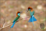 (2) Blue-Throated Bee-eater (FIGHT CLUB)