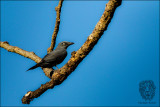 Bar-bellied Cuckoo-shrike (Coracina striata)