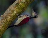 Luzon Flameback (female) (Chrysocolaptes haematribon)